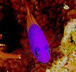 Pictichromis-paccagnellae