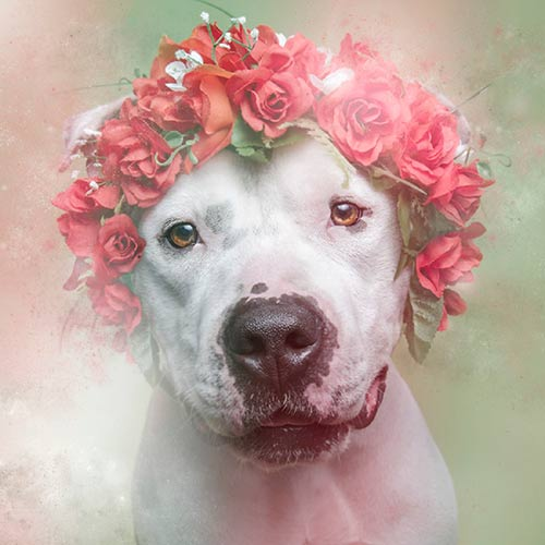Flower-Power Pitbull