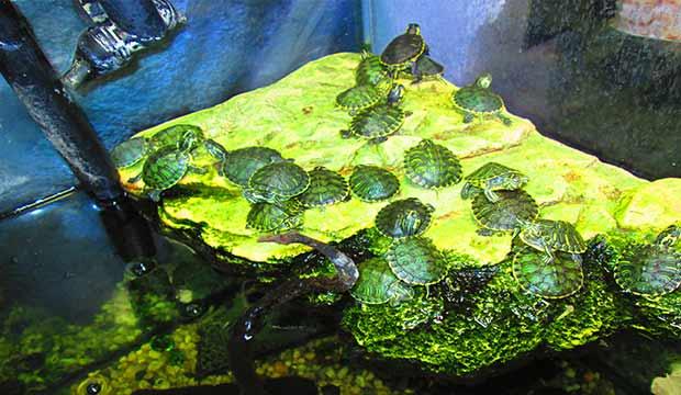 TARTARUGHE D'ACQUA – simpatici abitanti del tuo acquario!