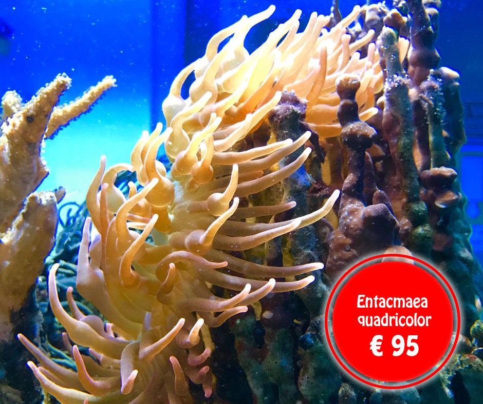 Entacmaea-quadricolor