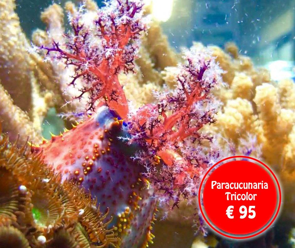 paracucunaria-tricolor