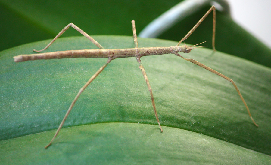 insetto-stecco-centerzoo-lariano